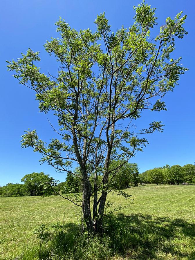 Chinaberry Tree